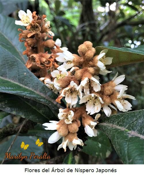 Flores del arbol de Nispero Japones