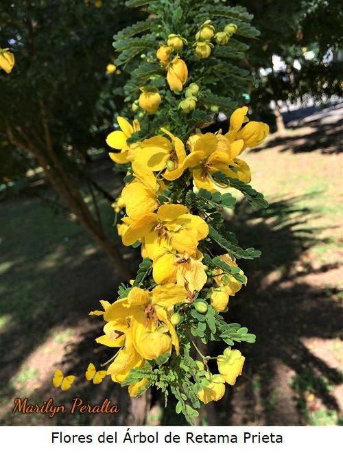 Flores del arbol de Retama Prieta