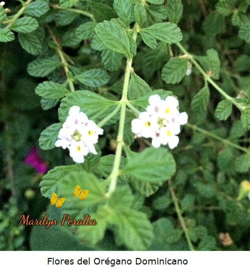 Flores del oregano dominicano
