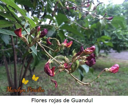 Flores rojas de Guandul