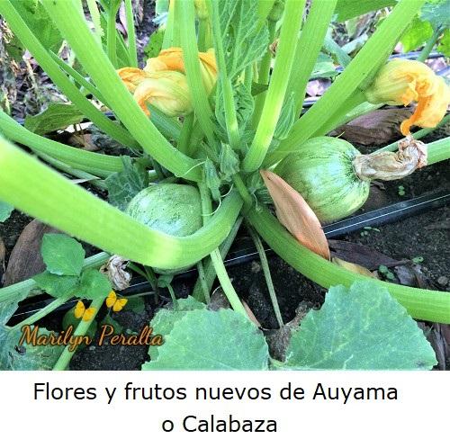 Flores y frutos nuevos de auyama o calabaza
