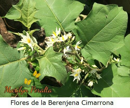 FloresdelaBerenjenacimarrona