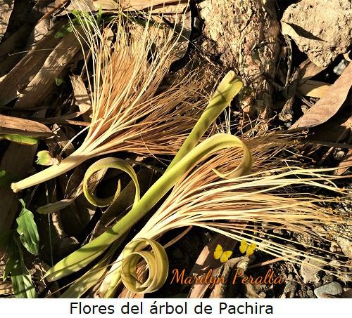 FloresdelarboldePachira