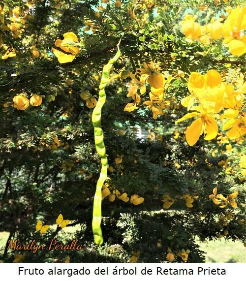 Fruto alargado del arbol de Retama Prieta