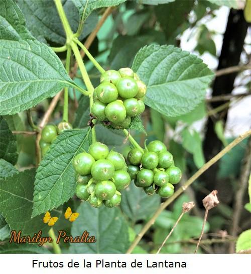 Frutos de la Planta de Lantana