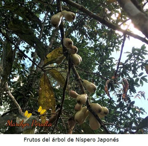 Frutos de Nispero japones