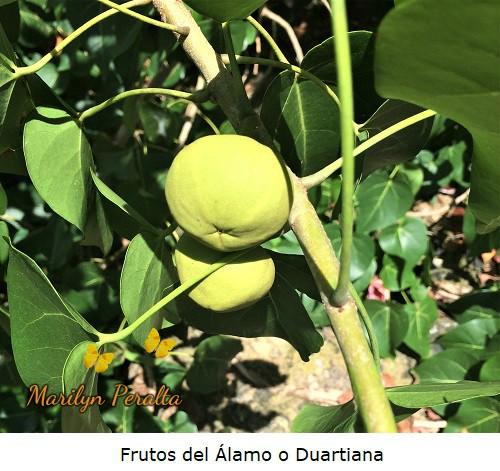 Frutos del Alamo o Duartiana