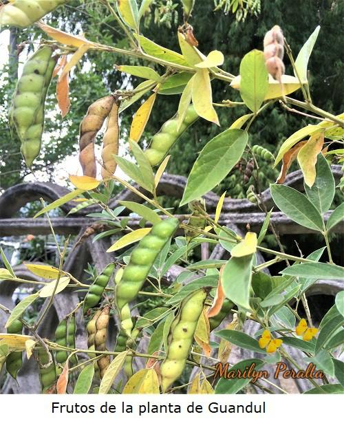 Frutos del Guandul