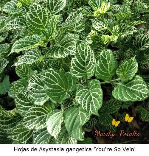 Hojas de la Asystasia gangetica