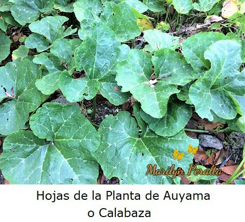 Hojas de la Planta de Auyama o Calabaza