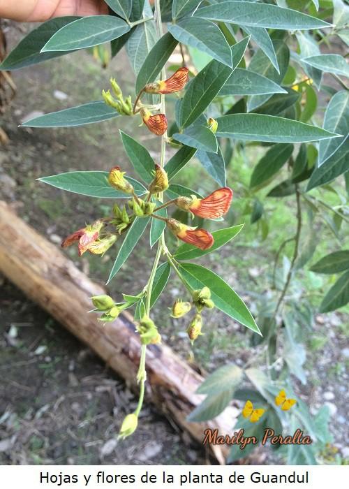 Hojas y flores de Guandul