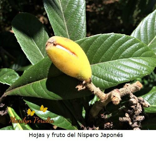 Hojas y fruto del Nispero Japones