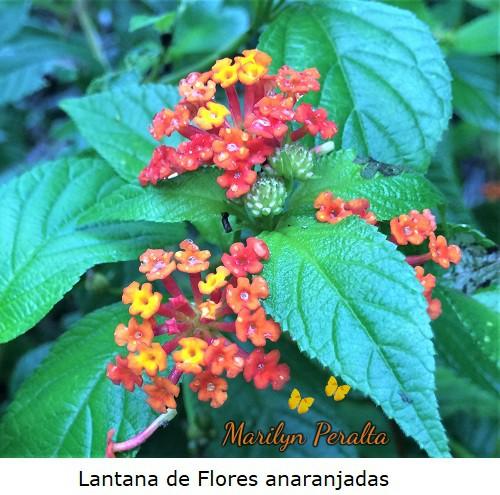 Lantana de Flores anaranjadas