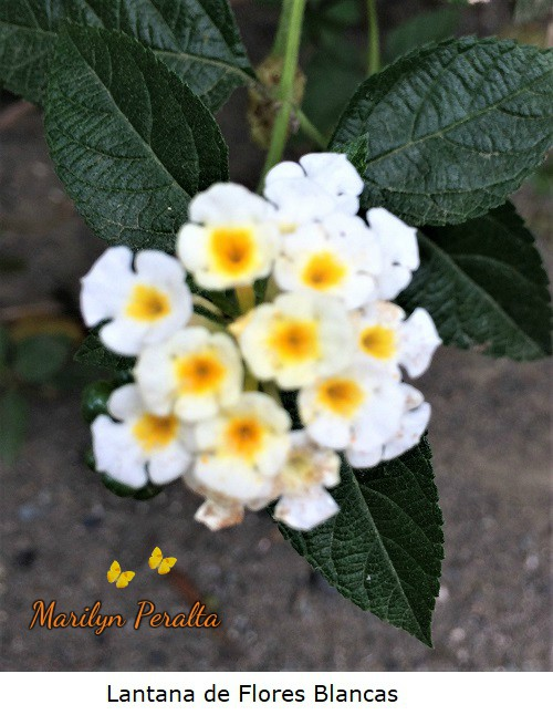 Lantana de Flores blancas