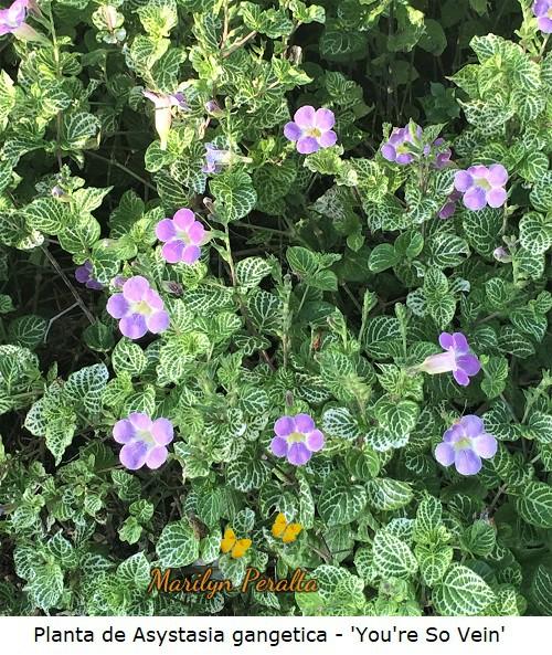 Planta de Asystasia gangetica