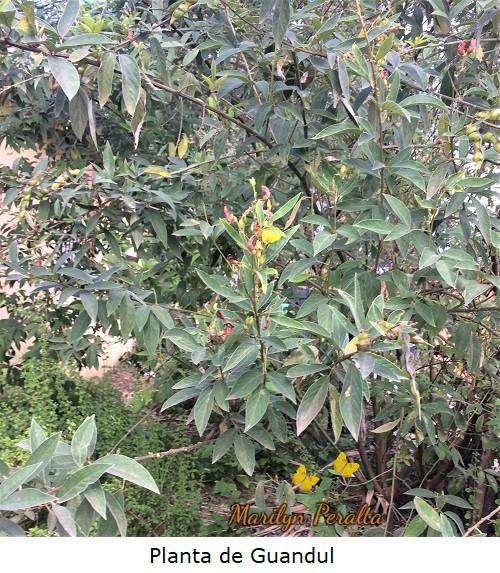 Planta de Guandul