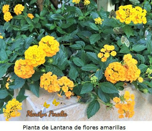 Planta de Lantana de flores amarillas