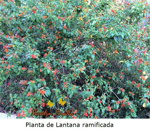 Planta de Lantana ramificada