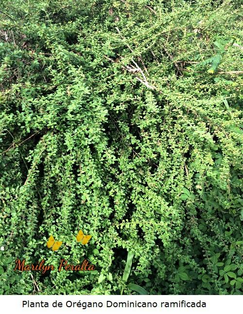 Planta de oregano dominicano ramificada
