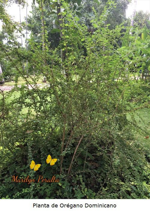 Planta de Oregano dominicano