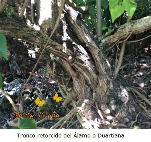 Tronco retorcido del Alamo o Duartiana