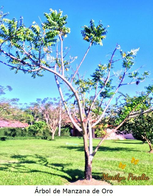 Arbol de Manzana de Oro