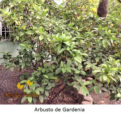 Planta de Gardenia, Gardenia jasminoides