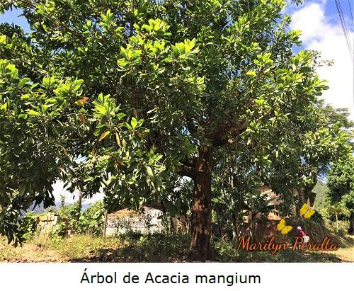 Acacia mangium, Salwood marrón