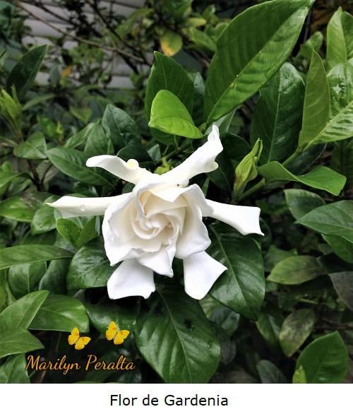 Flor de Gardenia, Gardenia jasminoides