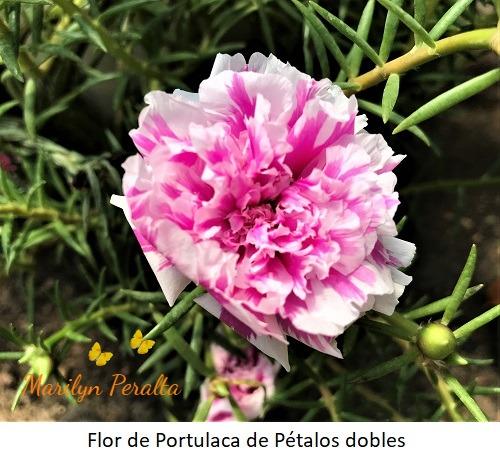 Flor de Portulaca de pétalos dobles