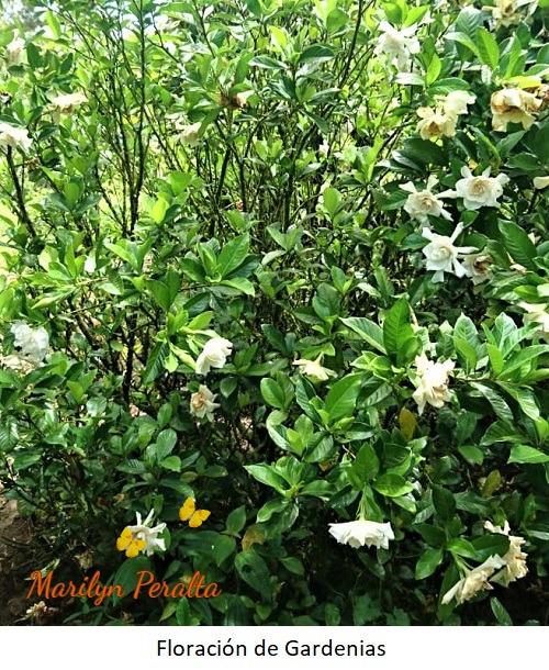 Floracion de Gardenias