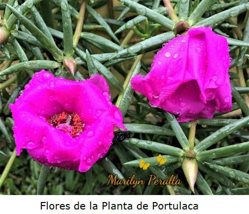 Flores de la Planta de Portulaca