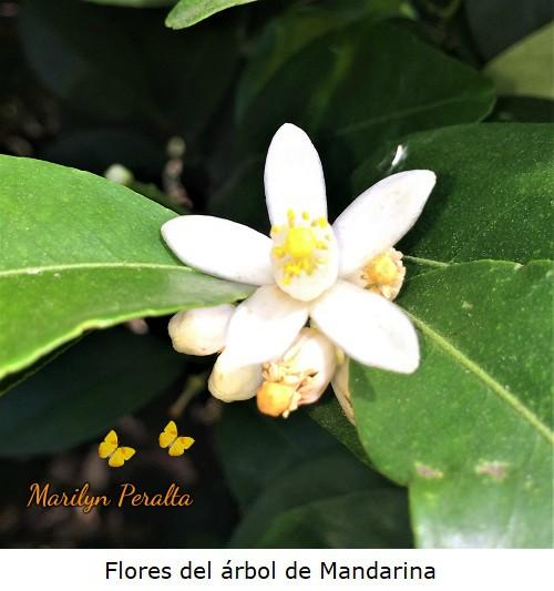 Flores del arbol de Mandarina
