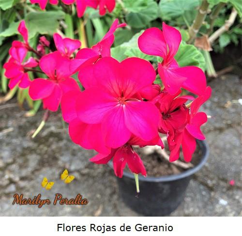 Flores de geranio con cinco pétalos color rojo