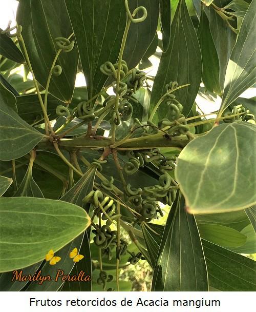 Frutos en espiral del árbol de Acacia mangium