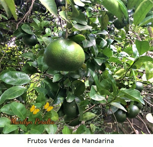 Frutos verdes de Mandarina