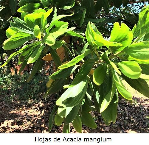 Hojas aplanadas de Acacia mangium