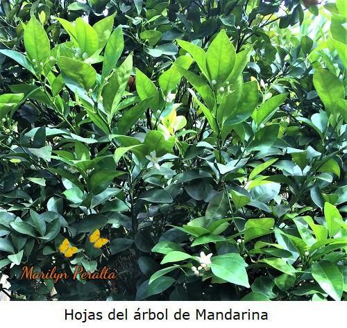 Hojas del Arbol de Mandarina