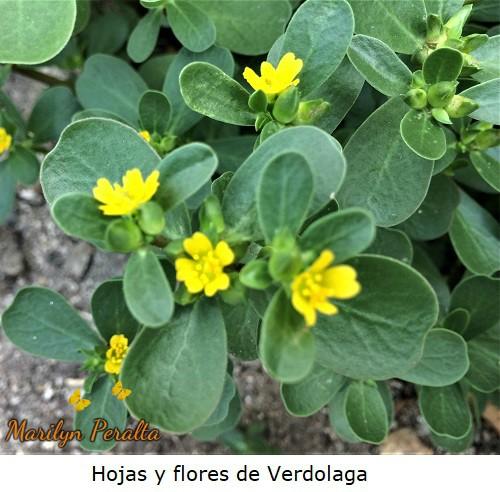 Hojas y flores de Verdolaga