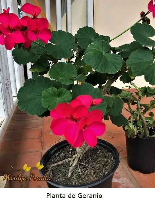 Planta de Geranio
