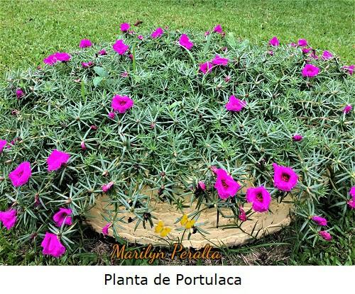 Planta de Portulaca