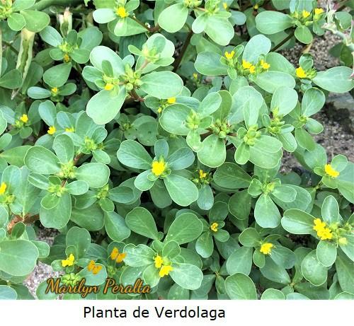 Planta de Verdolaga