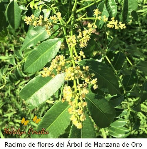 Racimo de flores del Arbol de Manzana de Oro