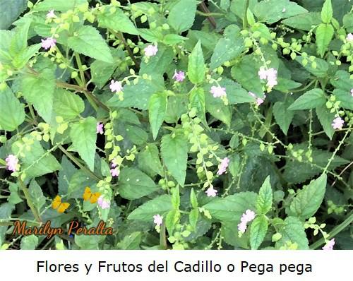 Racimos de flores y frutos del Cadillo o Pega pega