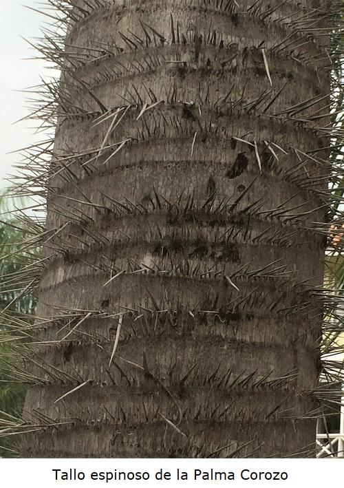 Tallo con espinas de la Palma Corozo