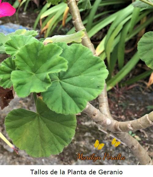 tallos leñosos planta geranio