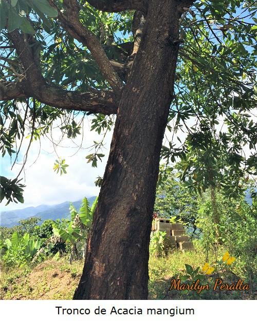 Tronco recto del árbol de Acacia mangium