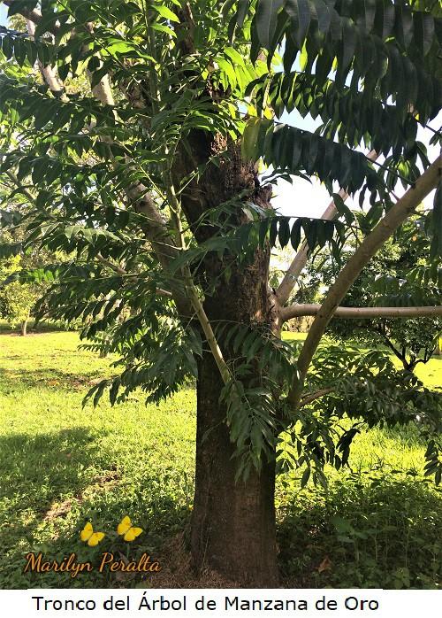Tronco del Arbol de Manzana de Oro