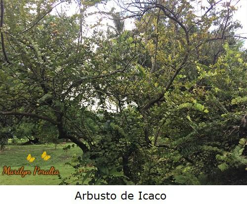 Arbusto ramificado de Icaco.