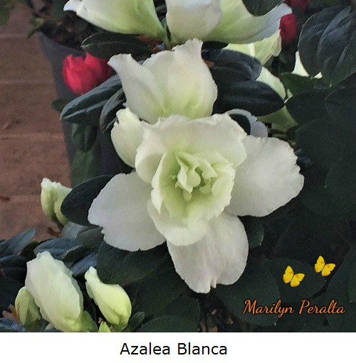 Azalea color blanco